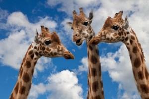 ADHD giraffe
