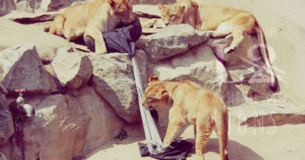 zoo-jeans-distressed-by-lions