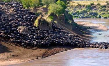 Migrasi Hewan