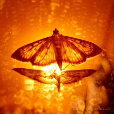 ngengat yang membakar sayapnya