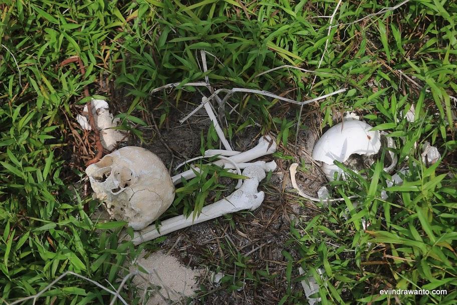 Tulang tengkorak, paha, tungkai, dan tulang rusuk