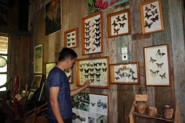 Dunia Indra sedang mengamati koleksi kupu-kupu awetan
