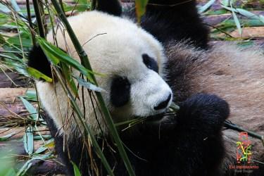 foto panda chengdu