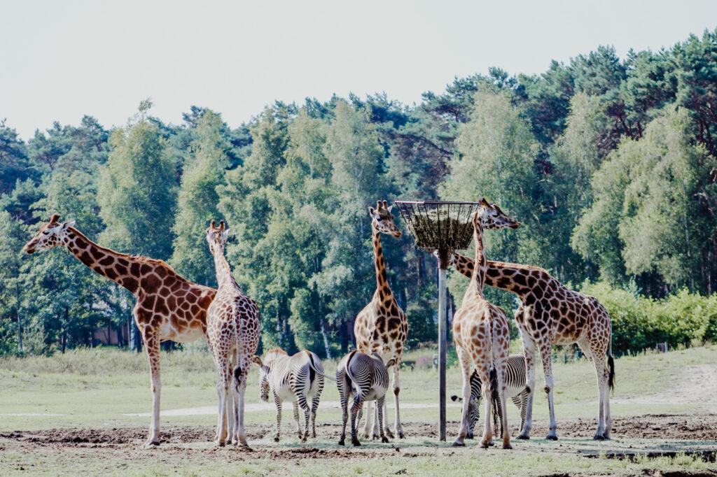 Giraffen in de Beekse Bergen