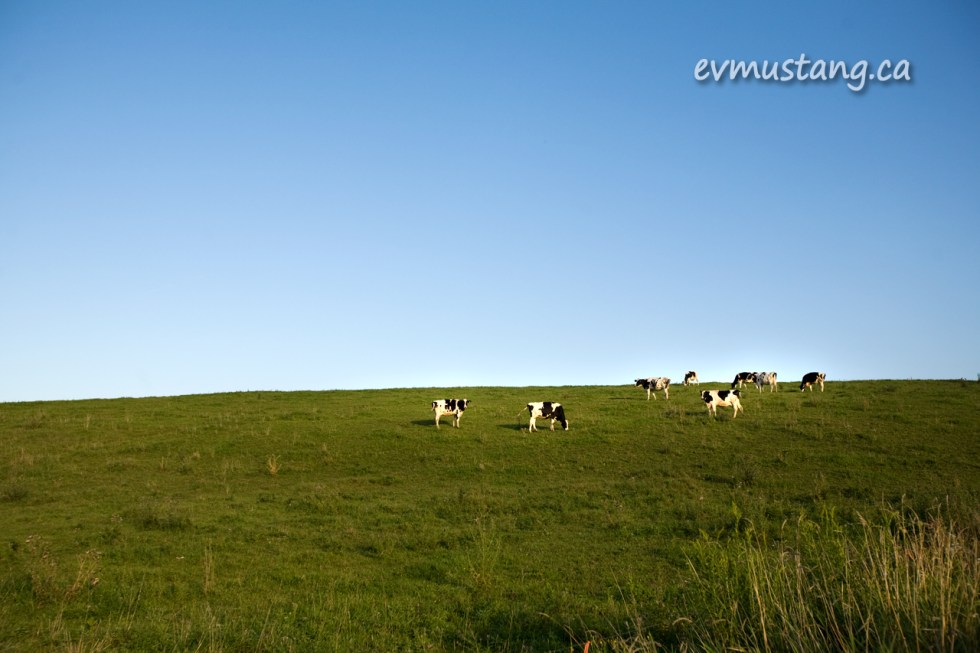 images of cows on green hill