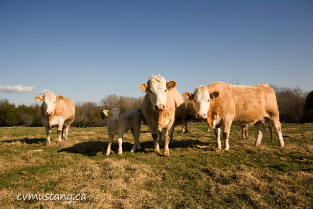 image of cows in field