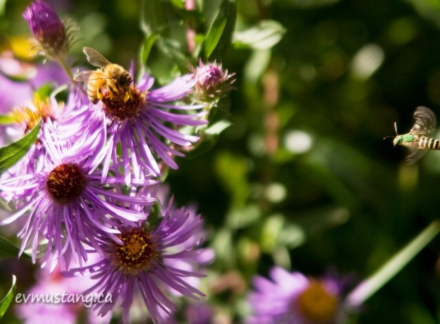 image of green sweat bee honing in on a honey bee's flower