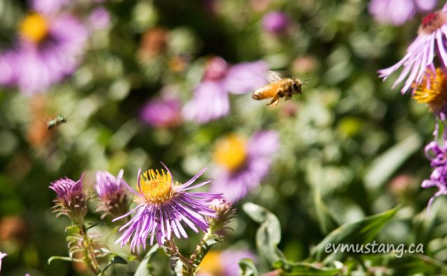 image of bee and hoverfly flying in garden