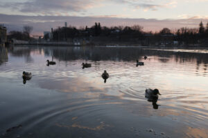 image of ducks at sunset