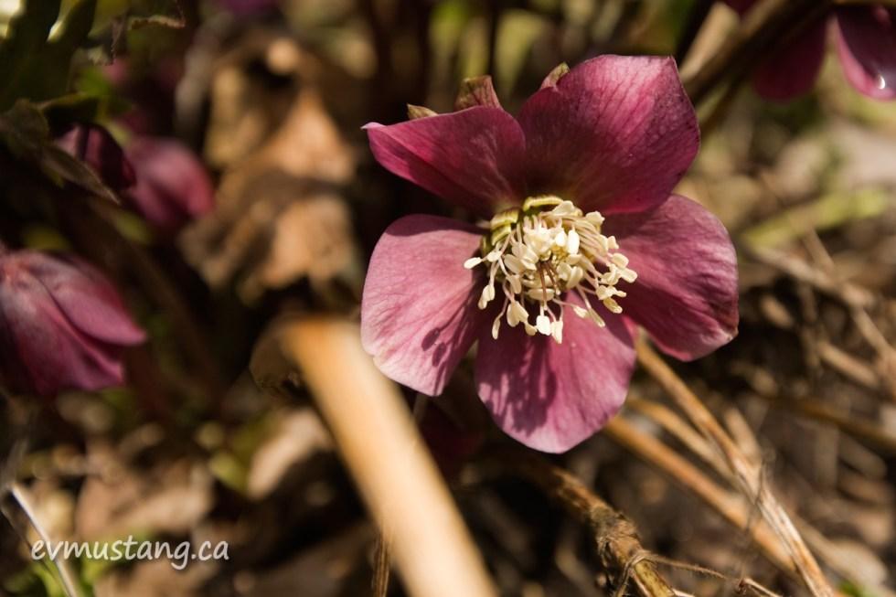 image of helleborus flower