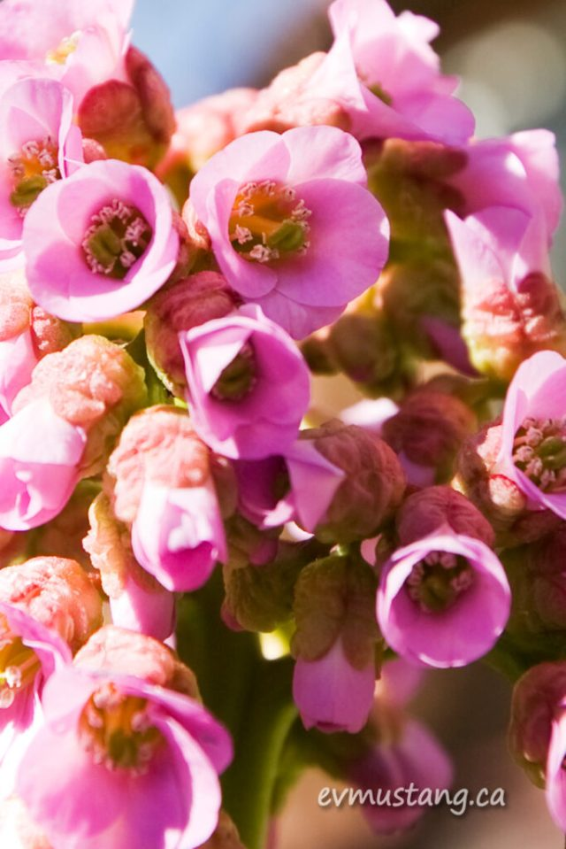 close up image of bergenia