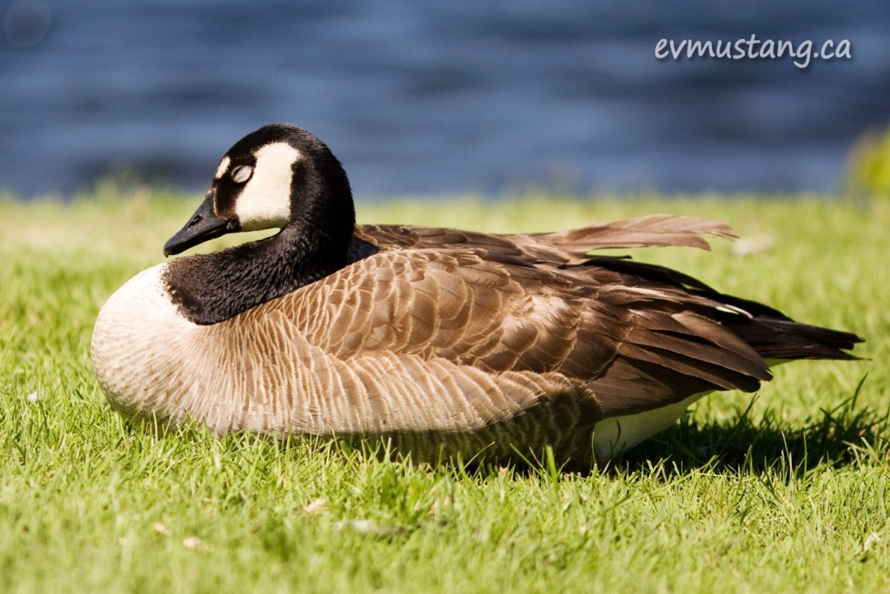 image of goose napping