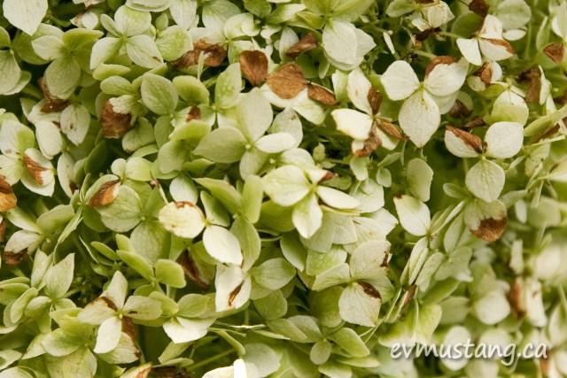 close up image of a hydrangea