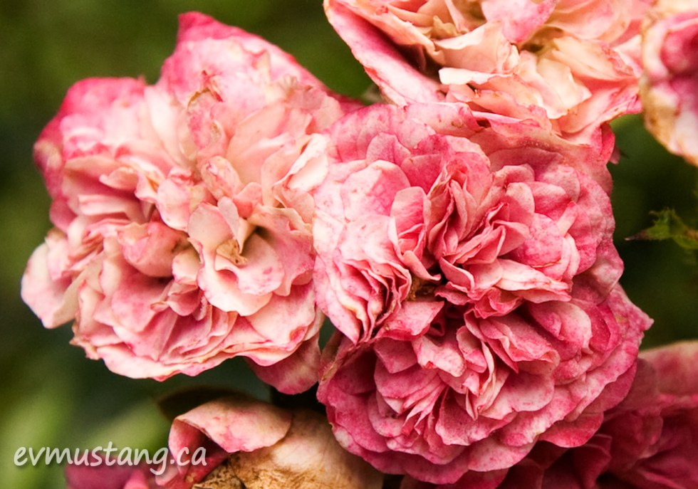 close up image of fading wild rose flowers