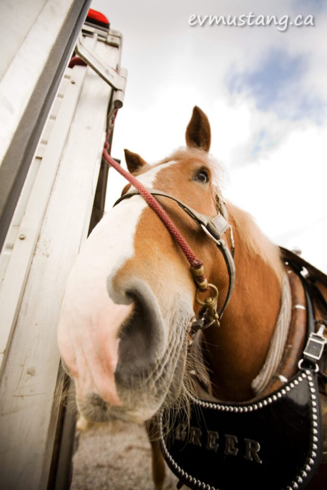 close up image of heavy horse harness, martingale