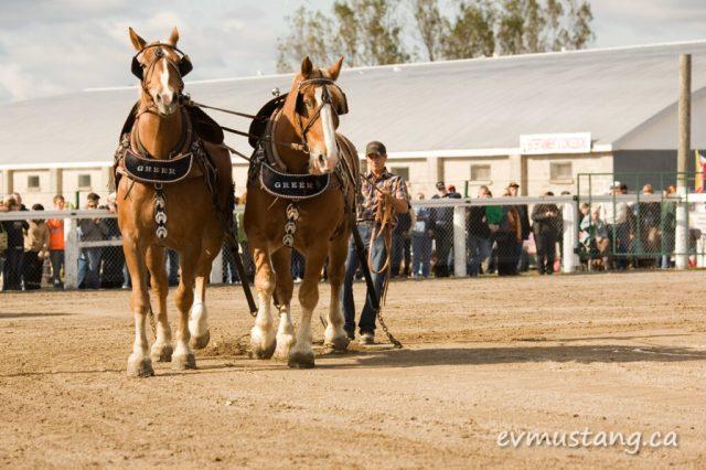 image of heavy horses