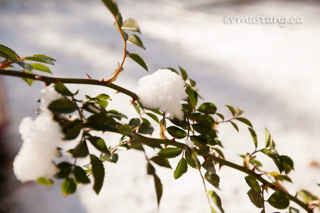 image of snow on green rose branch