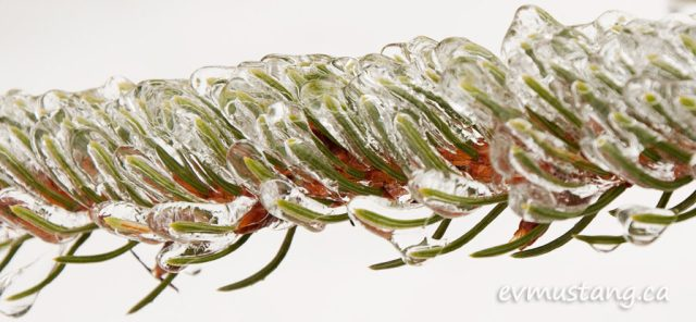 image of pine branch coated in ice