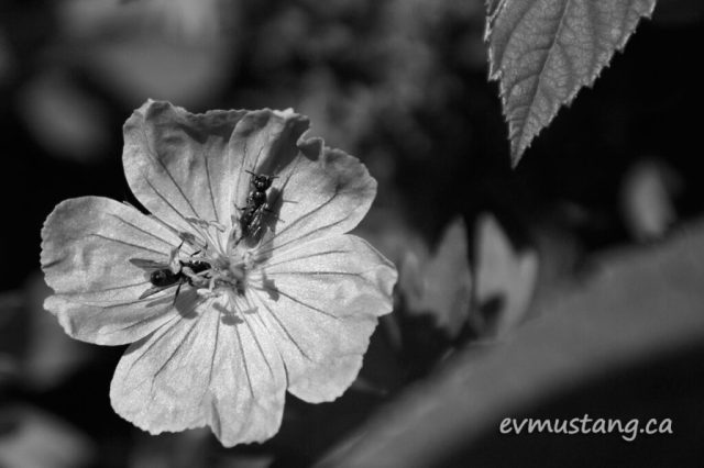 image of Geranium sanguineum flower