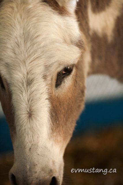 norwood_donkey