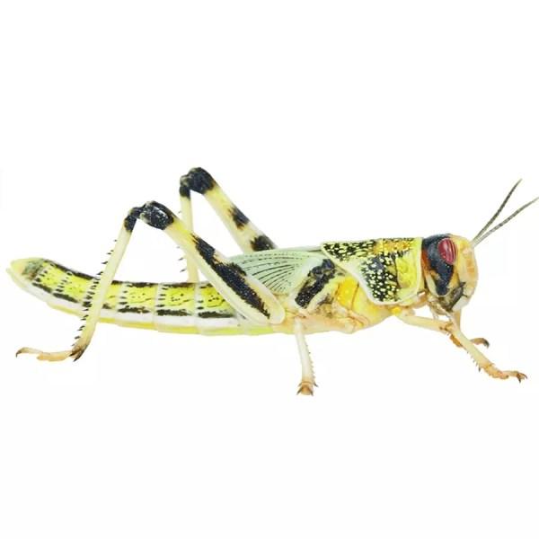 Locust - XL