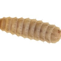 Calci Worms
