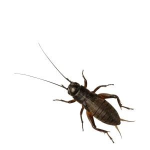 Black Crickets (small)