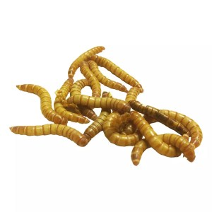 Live mealworms for sale at Evolution Reptiles