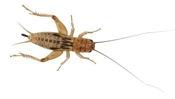 Silent Crickets - XL