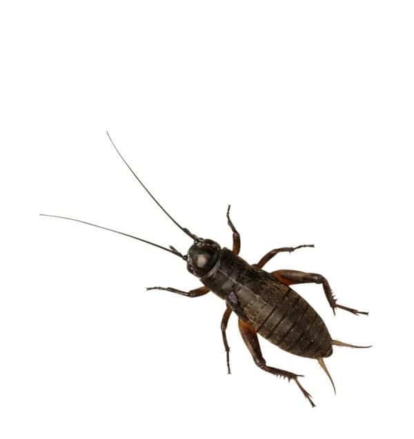 Black Crickets - XL