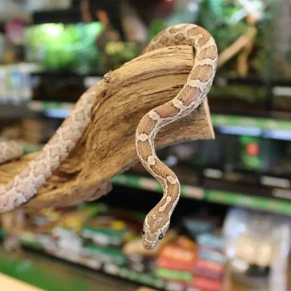 Anerythristic Corn Snake - Pantherophis guttatus guttatus