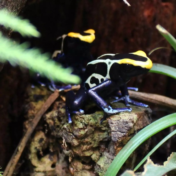 Dyeing Poison Dart Frogs- Dendrobates tinctorius (Cobalt)