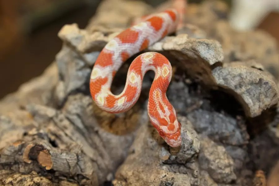 Corn Snakes Vivarium Set Up Medium Evolution Reptiles