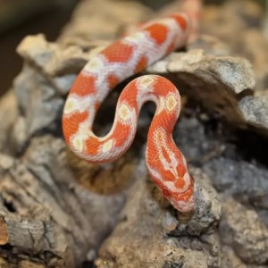 High White Creamsicle Corn Snake - Pantherophis guttatus guttatus