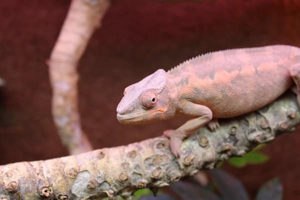 Panther Chameleon - Female - Furcifer pardalis