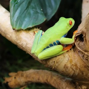 Red Eyed Tree Frogs - Agalychnis callidryas