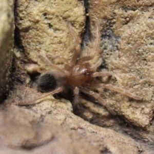 Mexican Red Knee – Spiderling - Brachypelma Smithi