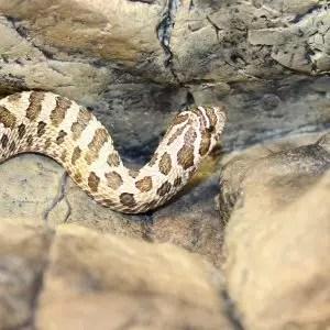 Western Hognose - Heterodon nasicus