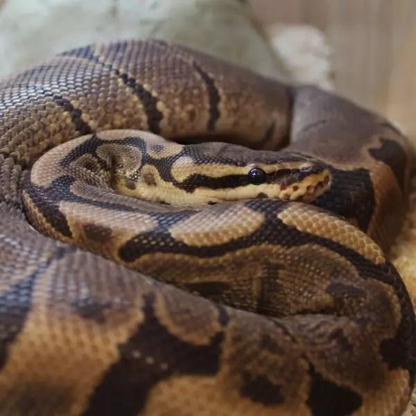 Woma Royal Pythons - Python regius