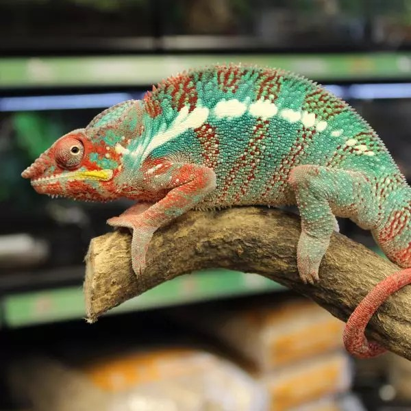 Hector the Panther Chameleon  1