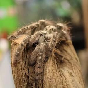 Togo Starburt heteroscoda maculata 2