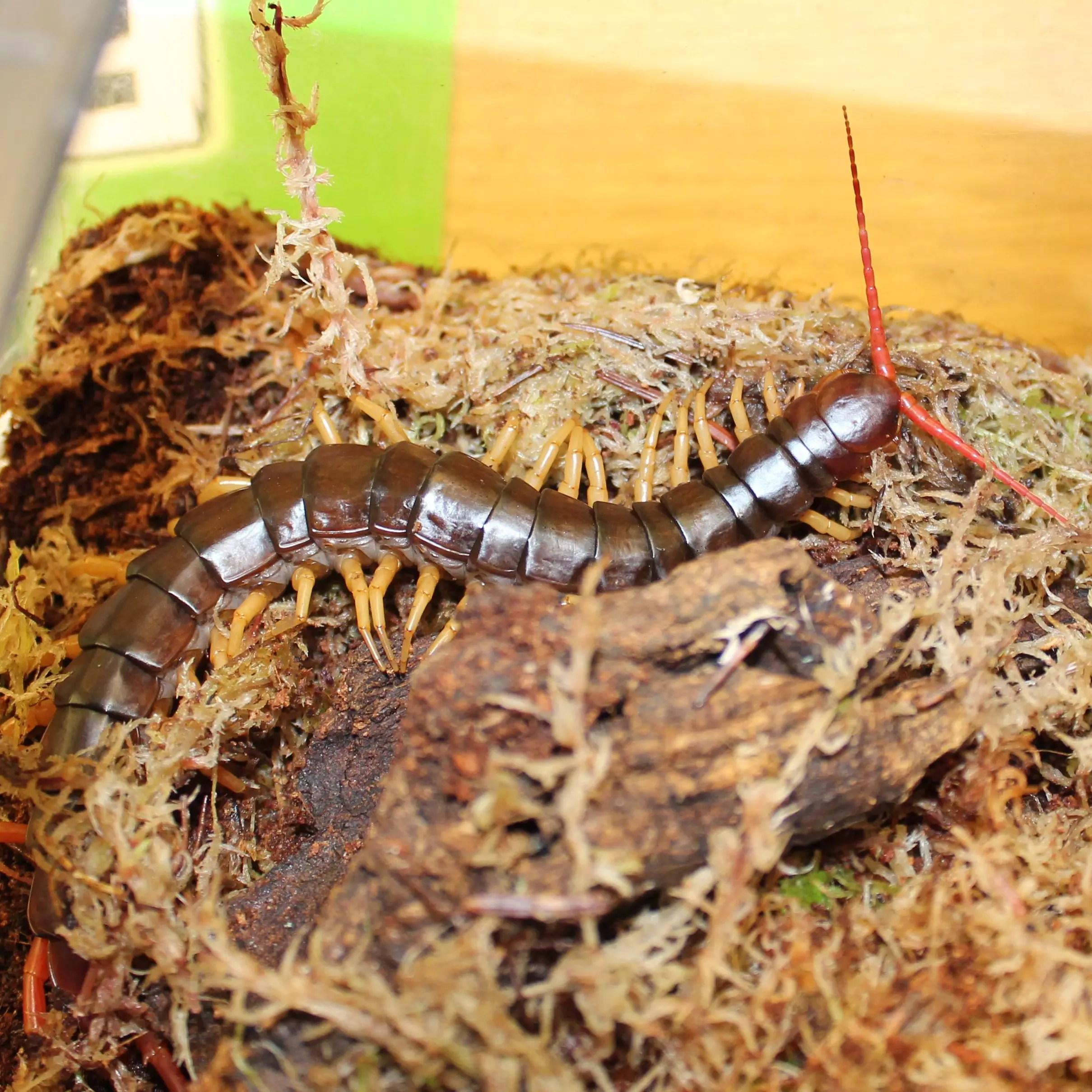 Vietnam Giant Centipede - Scolopendra dehanni