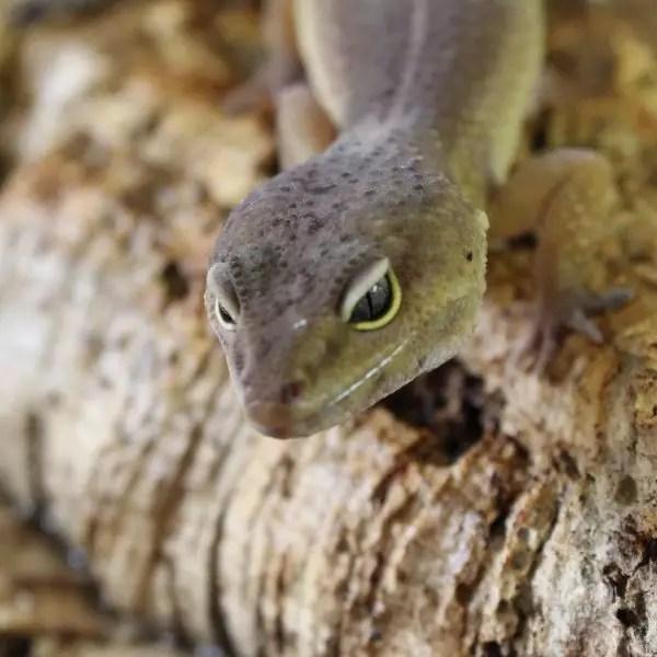 Dark Patternless Leopard Gecko  1