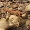 high-red-leatherback-bearded-dragon-2