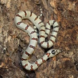thayers-king-snake