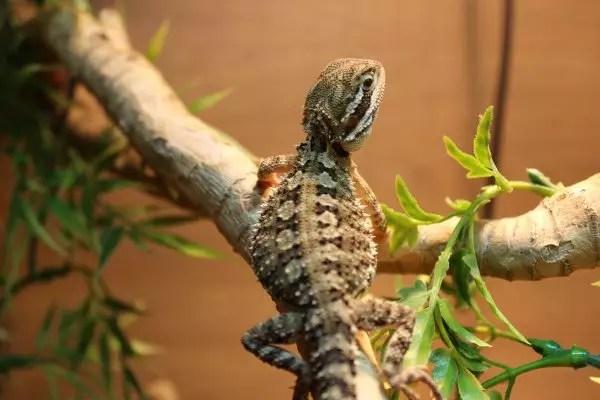 Rankins Dragon - Pogona henrylawsoni