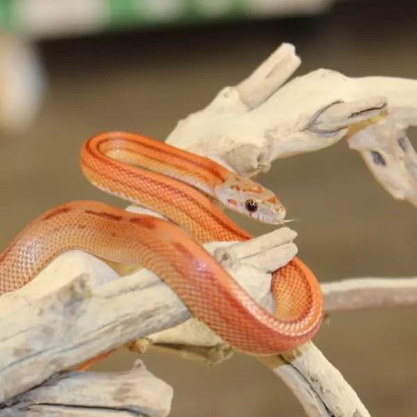 Striped-Corn-Snake-e1457862808413