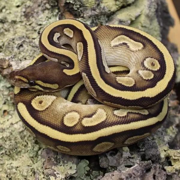Calico Mojave Royal Python