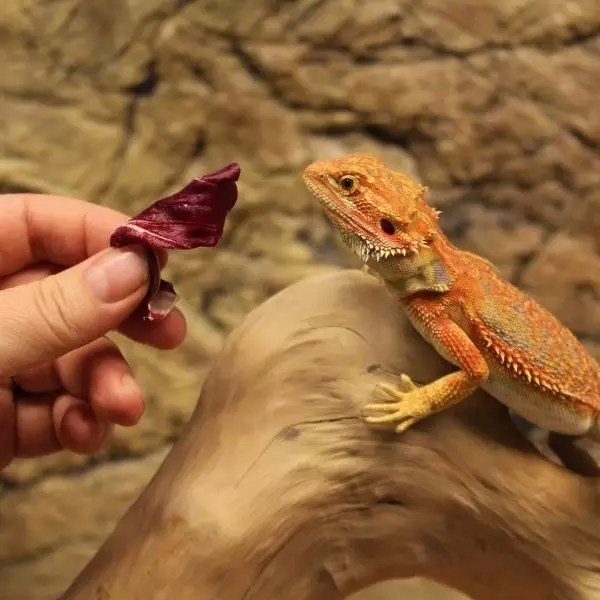 High Red Bearded Dragon with lollo rosso