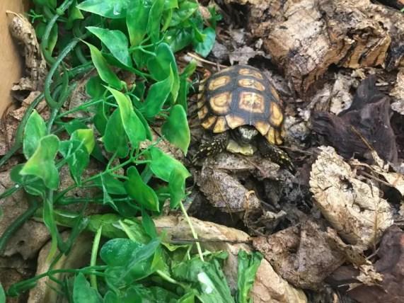Bells Hingeback Tortoise (2)